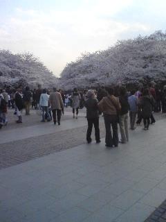 上野公園桜見頃