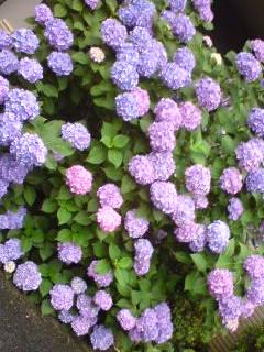 紫陽花で食中毒