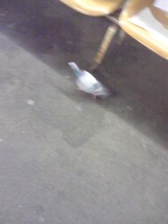 ホームの鳩