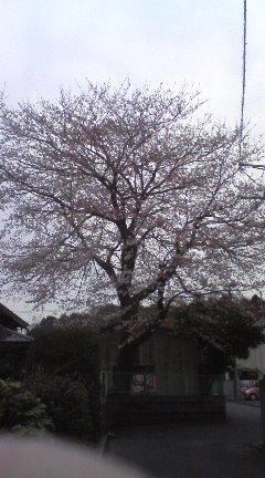 桜満開間近